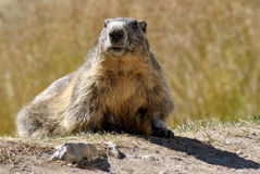 Marmot in het gras Stock Foto