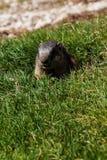 Marmot in het Italiaans het bergwild royalty-vrije stock fotografie