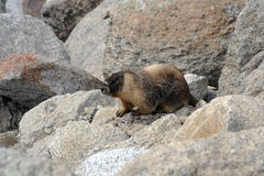 Marmot in het Nationale Park van Yosemite Stock Foto's
