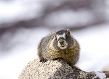 Marmot in het Ogenblik Royalty-vrije Stock Foto's