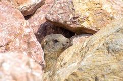 Marmot het verbergen in de rotsen Royalty-vrije Stock Foto