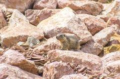 Marmot het verbergen in de rotsen Royalty-vrije Stock Fotografie