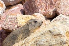 Marmot het verbergen in de rotsen Stock Afbeeldingen