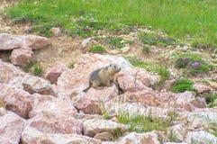 Marmot het verbergen in de rotsen Royalty-vrije Stock Afbeelding