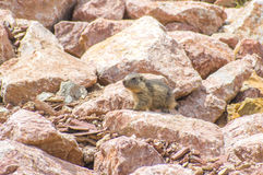 Marmot hiding in the rocks Royalty Free Stock Photography