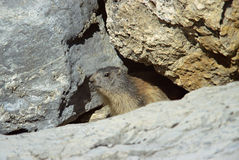 Marmot hiding under a rock in french alps Royalty Free Stock Photo
