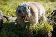 Marmot Royalty Free Stock Photo
