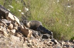 Marmot on the hill. Royalty Free Stock Photos