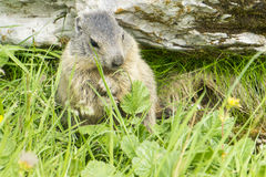 Marmot. On the hillside in Alps Royalty Free Stock Photo