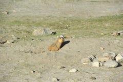 Marmot. royalty free stock photos