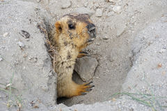 Marmot in his hole on the way to turtuk, Leh Ladakh. Stock Image