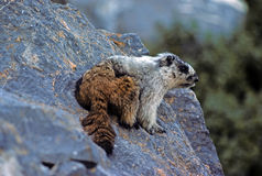 Marmot in his home Stock Photos