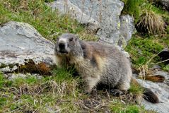 Marmot in Hohe Tauern Stock Photography