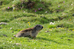 Marmot in Hohe Tauern. National park, Austria Royalty Free Stock Photography