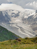 Marmot in Hohe Tauern. National park, Austria Stock Images