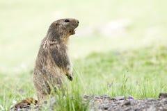Marmot i alpsna Royaltyfri Fotografi