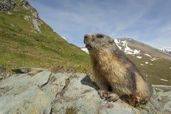 Marmot i alpsna Arkivfoto