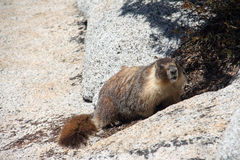 Marmot Stock Photography
