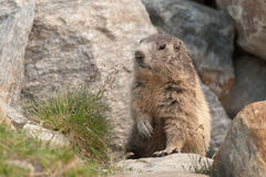 Marmot in its lair Stock Photography