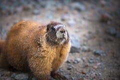 Marmot Jaune-gonflé le Colorado en gros plan Rocky Mountains Photos libres de droits
