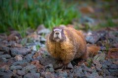 Marmot Jaune-gonflé le Colorado en gros plan Rocky Mountains Images stock