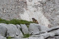 Marmot, Julian Alps, Slovenië Stock Foto