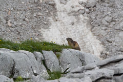 Marmot, Julian Alps, Slovenia. A trekking path, Julian Alps, Slovenia Stock Photo
