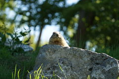 Marmot keeping watch Royalty Free Stock Images