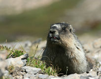 Marmot Kiss Stock Image