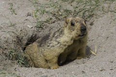 Marmot in ladakh Royalty Free Stock Photo