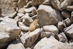 Marmot at Ladakh,India. Stock Images