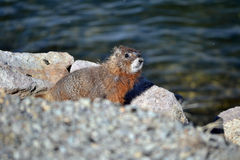 Marmot by the lake Stock Images