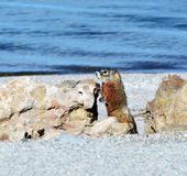 Marmot by the lake Royalty Free Stock Photos