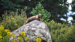 Marmot life royalty free stock photo