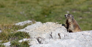 Marmot looking aroung on a stone Royalty Free Stock Photo