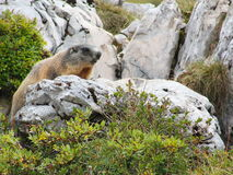 Marmot looking aroung on a stone Stock Images