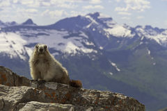 A marmot looking at the camera. In Glacier National Park, Montana, with mountains in the background Royalty Free Stock Photography
