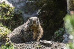 Marmot looking at the camera. Marmot at the zoo looking at the camera Royalty Free Stock Photo