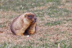 Marmot is looking. Close-up fat fat woodchuck with beautiful fur sitting on the green grass. Marmot is looking.  Close-up fat fat woodchuck with beautiful fur royalty free stock photo