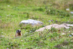 Marmot looking curiously Royalty Free Stock Image