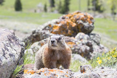 Marmot looking for food Stock Photo