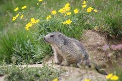 Marmot looking at the horizon Stock Photo