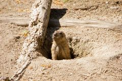 Marmot looking out of the hole Stock Photos