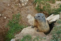 Marmot looking out of a hole Stock Images