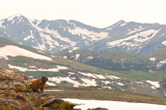 Marmot Looking Out Royalty Free Stock Photo