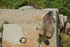Marmot lying on a high stony tower - birds eye view stock images