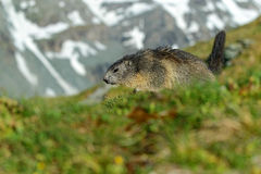 Marmot, Marmota marmota, Cute animal running in the grass with snow mountain in the background, nature rock habitat,  Alp, Italy Royalty Free Stock Image