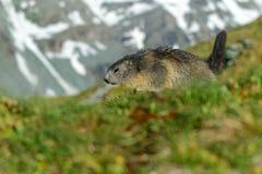 Marmot, Marmota marmota, Cute animal running in the grass with snow mountain in the background, nature rock habitat,  Alp, Italy. Marmot, Marmota marmota, Cute Royalty Free Stock Image