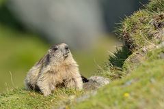 Marmot (Marmota). Marmots (Marmota) typically live in burrows and hibernate there through the winter. Most marmots are highly social and use loud whistles to Royalty Free Stock Photos