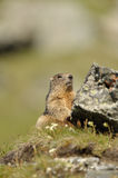 Marmot (Marmota). Marmots (Marmota) typically live in burrows and hibernate there through the winter. Most marmots are highly social and use loud whistles to Stock Photo
